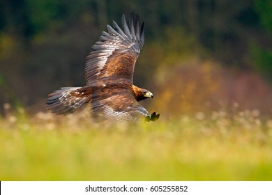 Golden eagle flying above the blooming meadow. Big bird of prey with open wings.