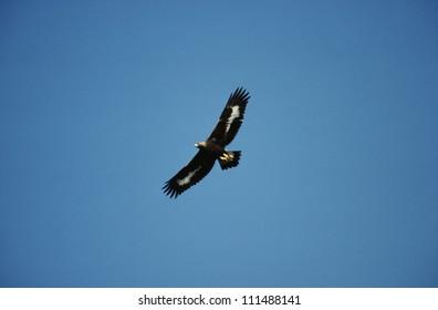 Golden eagle flying against sky