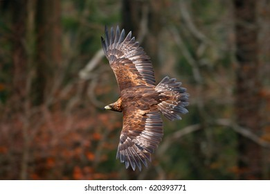Golden Eagle, flying in front of autumn forest, brown bird of prey with big wingspan, Norway. Action wildlife scene from nature.