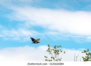 Golden Eagle flying over trees