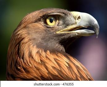 Golden Eagle Gaze