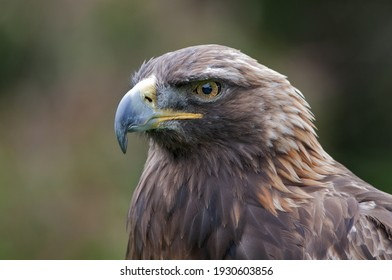 Golden Eagle head portrait horizontal 8X12