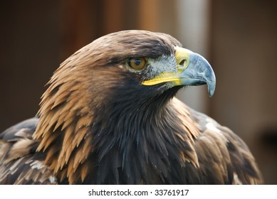 A golden eagle held in captivity at a Falconry