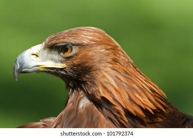 golden eagle and his portrait