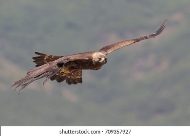 Golden eagle hunting over the mountains