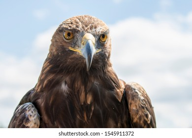 The golden eagle. King of the air