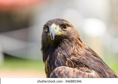 Golden Eagle, latin name  (Aquila chrysaetos) in front view, Coaldale, Alberta - bokeh background
