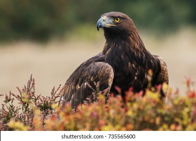 Golden eagle looking around. A majestic golden eagle takes in its surroundings from its spot amongst moorland vegetation.