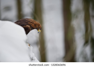 Golden eagle looking down from snowy cliff in the forest
