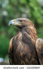 golden eagle is majestic
