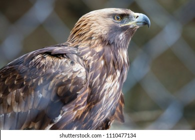 Golden eagle in the Moscow Zoo