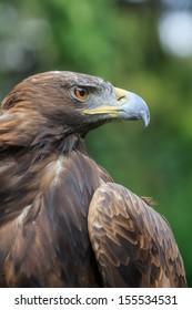 golden eagle nice portrait