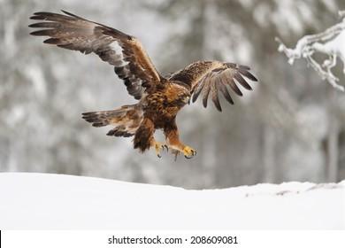 Golden Eagle on landing