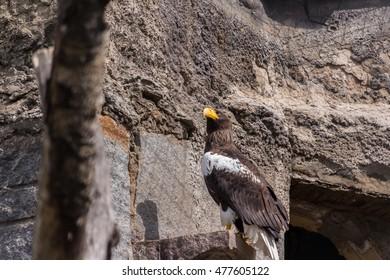 A golden eagle on the ledge