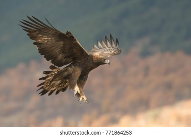 GOLDEN EAGLE ON MOUNTAIN