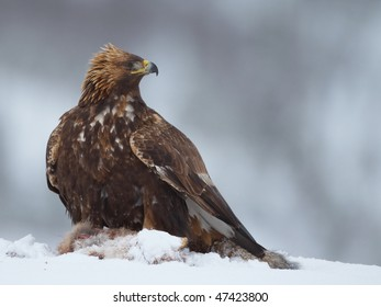 Golden Eagle on a Red Fox carcass, looking back
