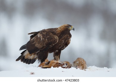 Golden Eagle on a Red Fox carcass