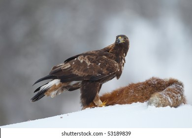 Golden Eagle on a Red Fox carcass, looking towards camera