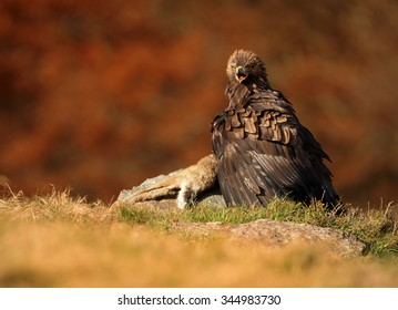 Golden Golden Eagle on a rock in autumn orange forest, with outstretched wings and guarding his prey.