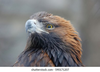 Golden eagle is one of the best known birds of prey of the hawk family, the largest eagle. The eagles have long been a symbol of courage and generosity.