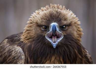 Golden eagle with open beak