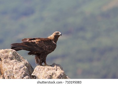 Golden eagle over the mountains