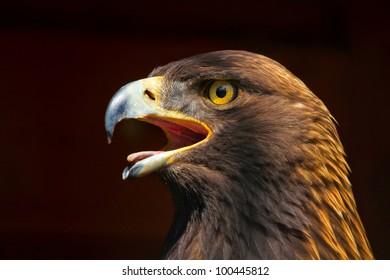 Golden Eagle Portrait Close Up Against Dark Background
