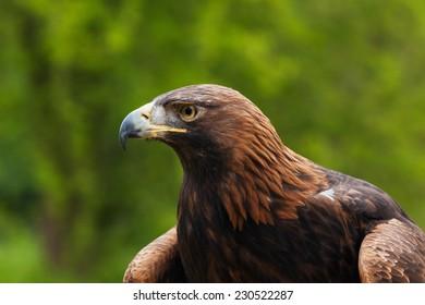 Golden eagle portrait. A head and shoulders view of a magnificent golden eagle