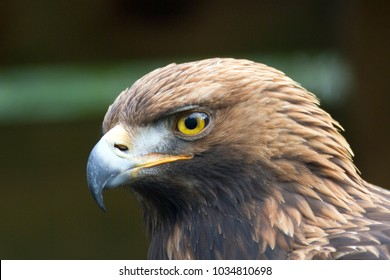 Golden eagle portrait side profile of this beautiful bird.