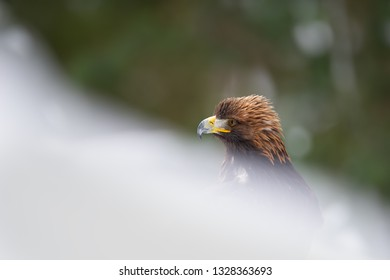 Golden eagle potrait in the snow drifts.