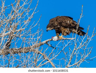 A Golden Eagle with Prey