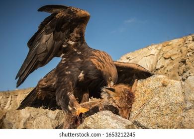 Golden eagle with prey fox - Shutterstock ID 1653212245