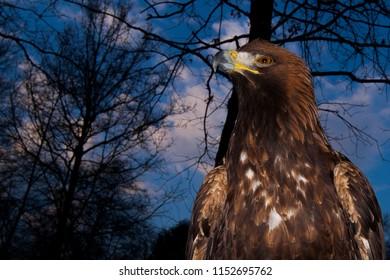 Golden eagle raptor