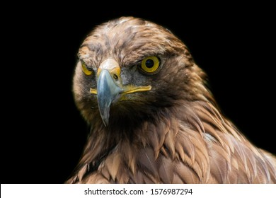 golden eagle resting in his innkeeper