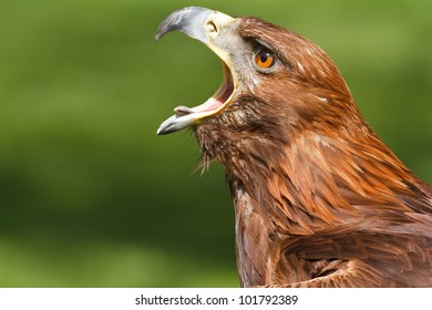golden eagle screaming