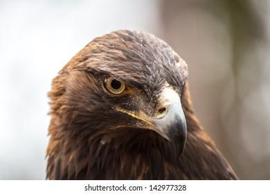 A Golden Eagle Searches for prey at the Carolina Raptor Center.