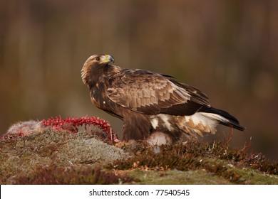 Golden Eagle sitting on a half-eaten Red Fox carcass