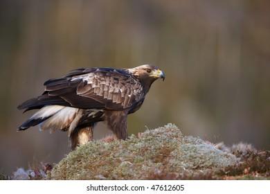 Golden Eagle sitting on a hilltop