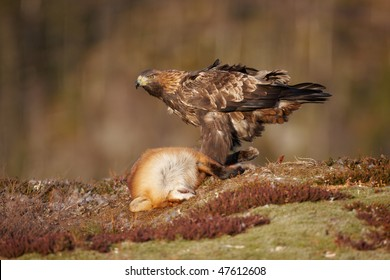 Golden Eagle sitting on a prey