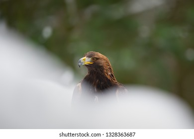 Golden eagle in snow drifts