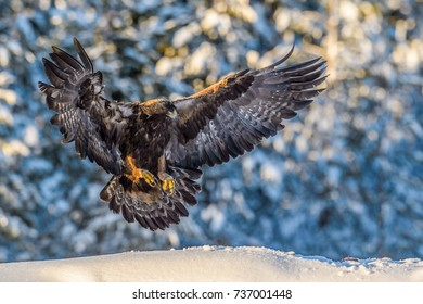 GOLDEN EAGLE IN SNOW FOREST
