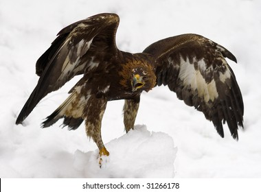golden eagle in the snow with spread wings