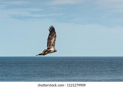 Golden eagle soaring over Lake Superior