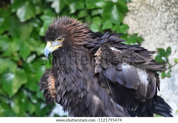 Golden eagle in spain
