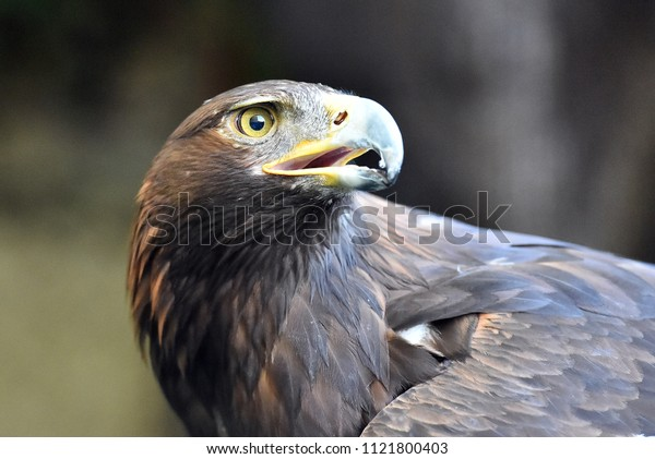 Golden eagle in spain