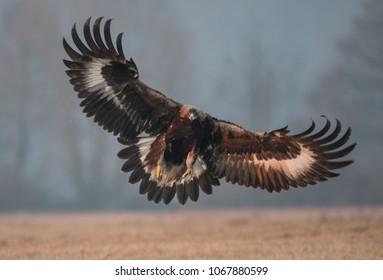 golden eagle wild bird
