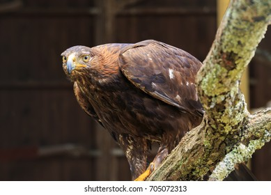 Golden eagle in a wildlife sanctuary