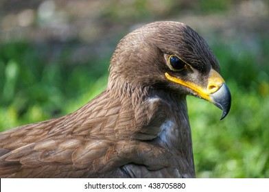 Golden eagle in the zoo