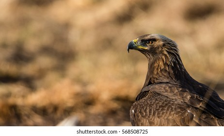 Golden Eagle's (Aquila chrysaetos) sharp profile with a nice de-focused background with the colors of the eagle
