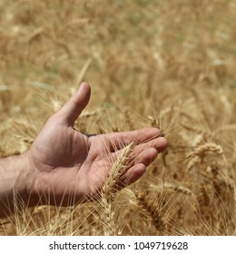 The golden ear of wheat on the arm of the combine harvester
